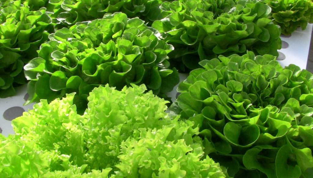 Heads of Lettuce
